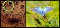 Flesh-eating butterflies
